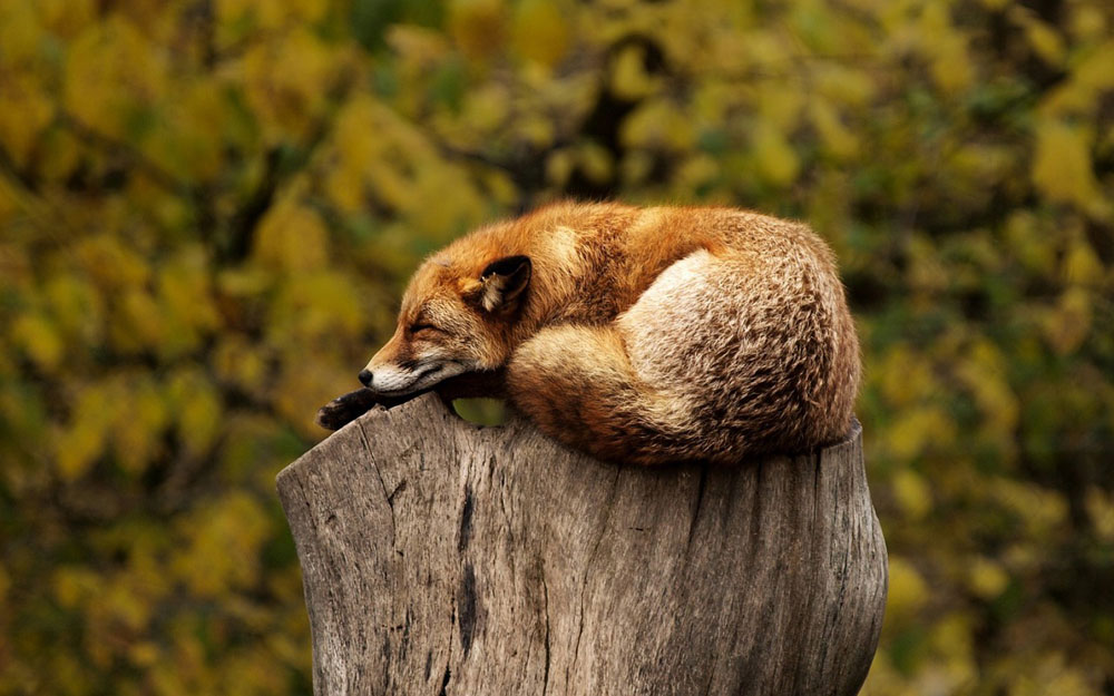 Fastenzeit - entspannt wie ein Fuchs