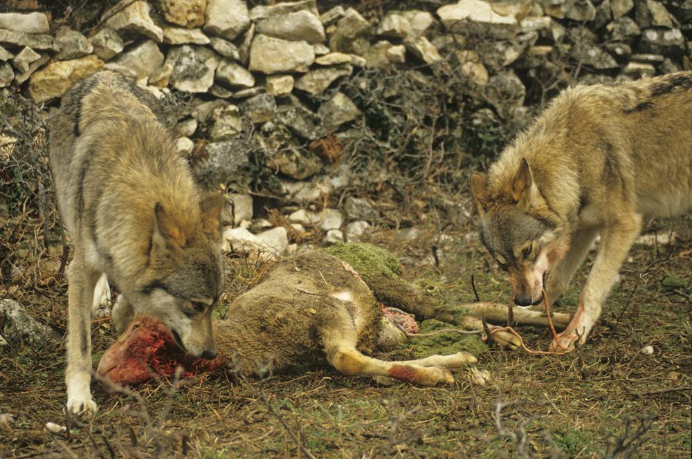Mehrfachtötung von Beutetieren gibt es in der Wildnis nur extrem selten.