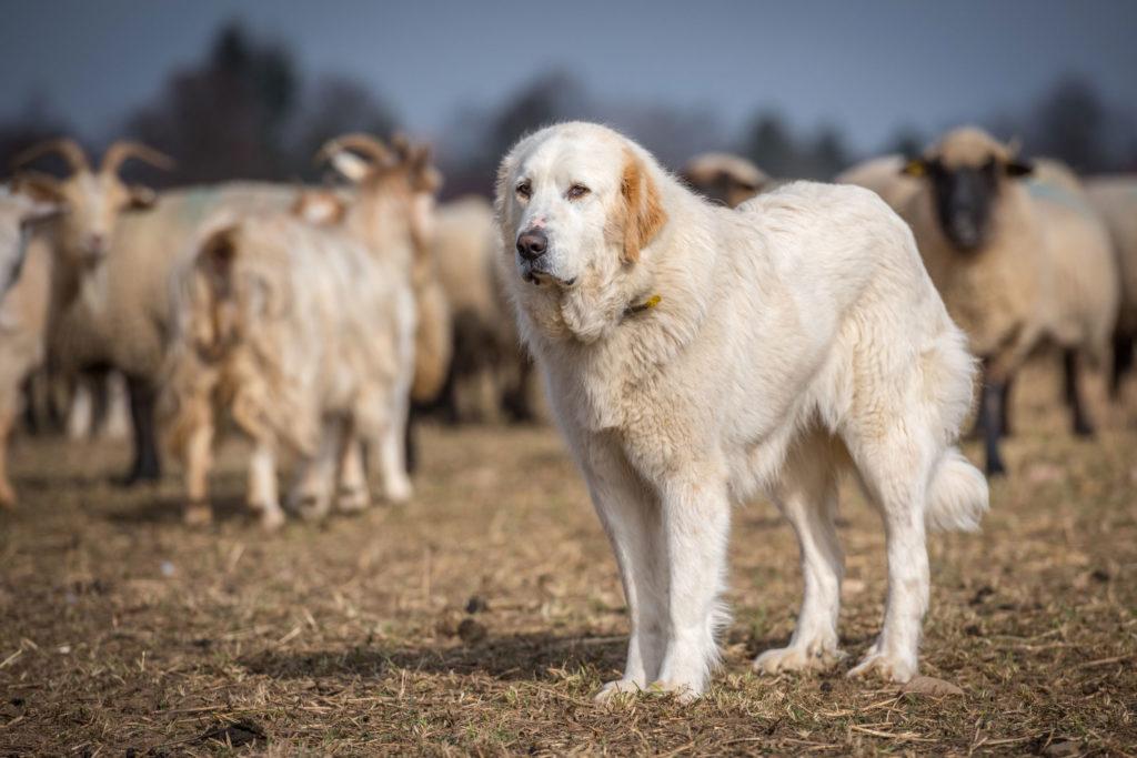 Herdenschutzhund bei der Arbeit