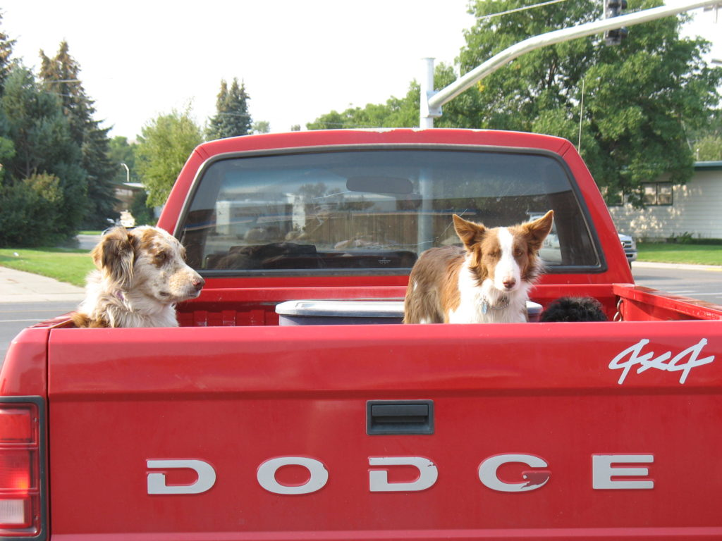 Drei Hunde auf dem Auto