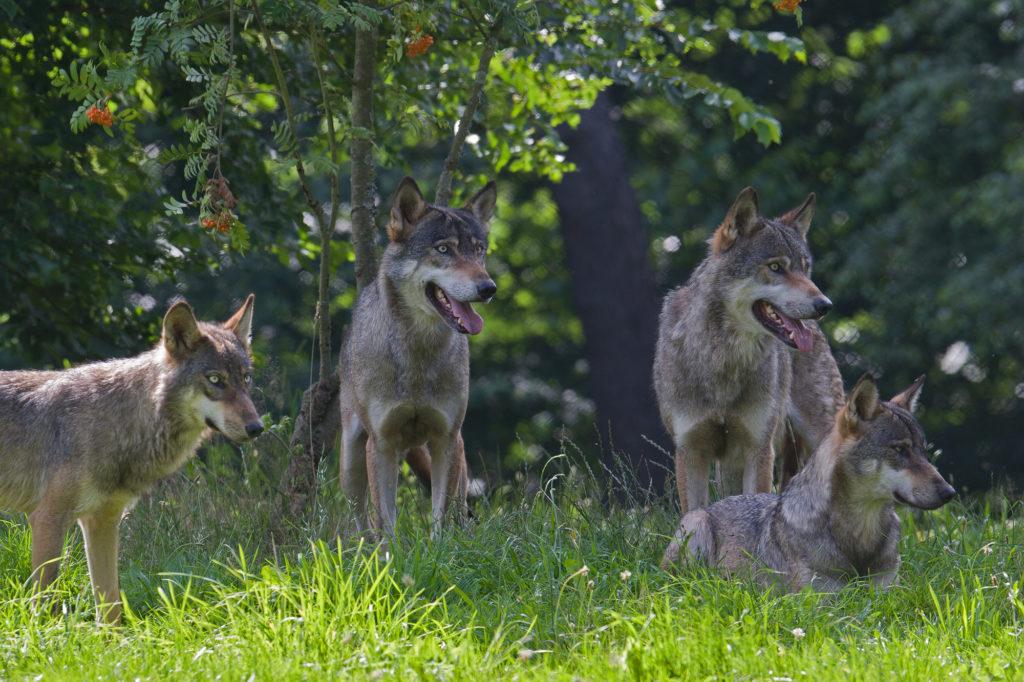 Wolfsbegegnung mit einem Rudel