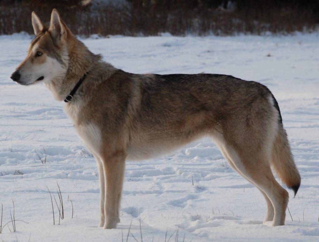 Saarloos Wolfshund