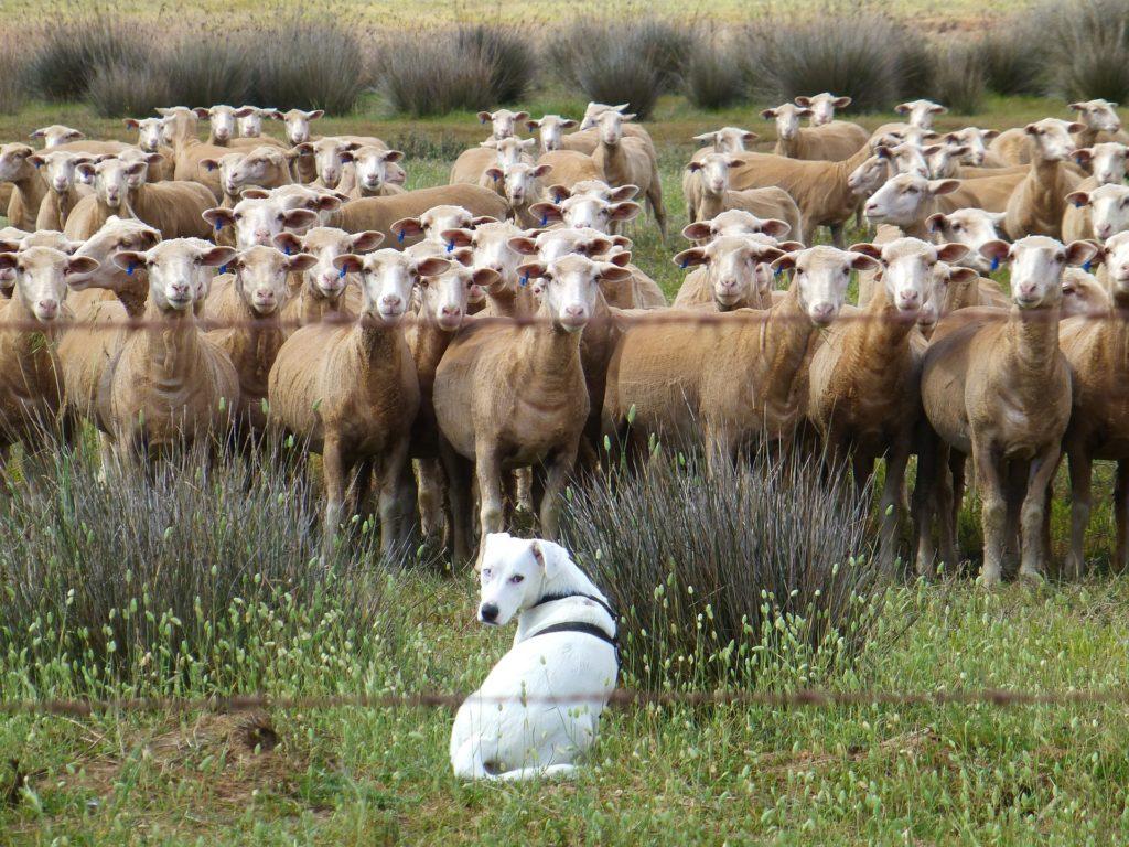Ein weißer Hund sitzt vor einer Schafsherde.