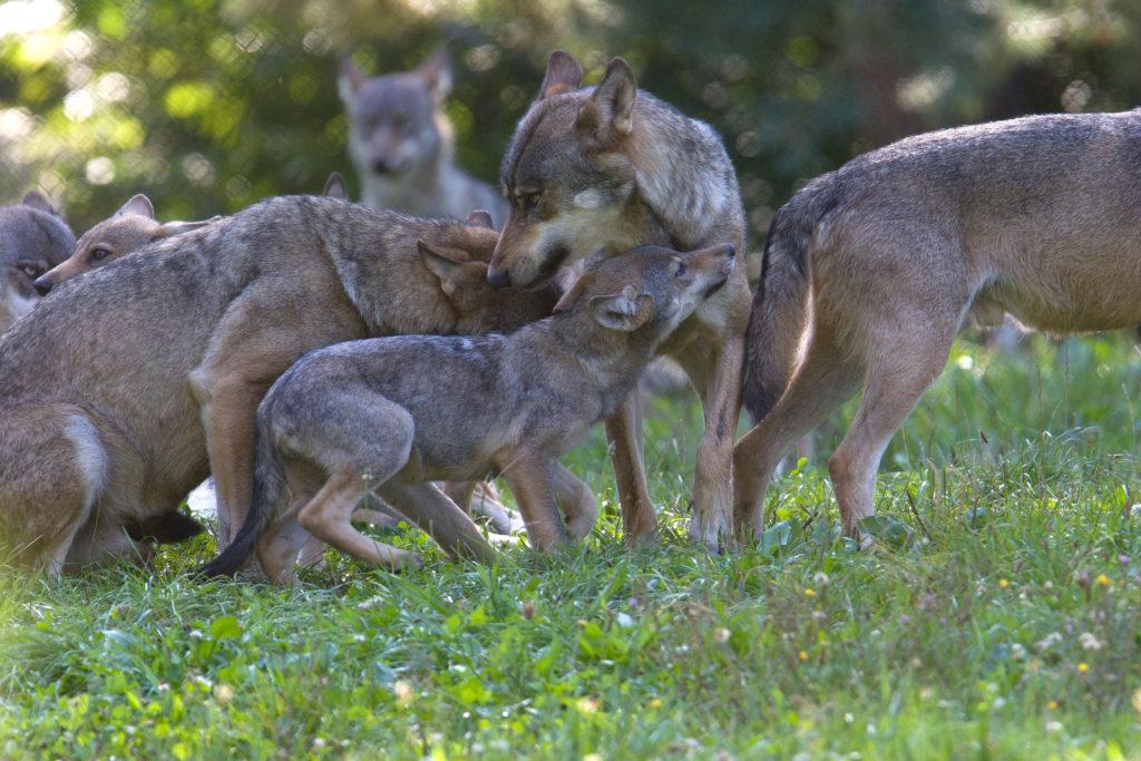Wolfsmutter mit Kinder