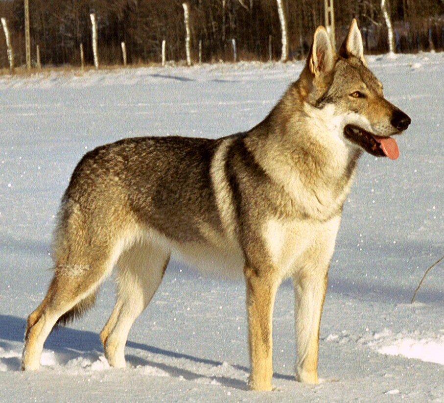 Wolfshybriden