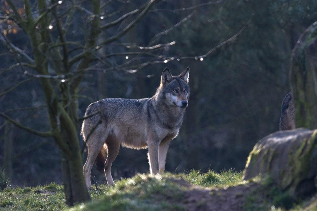 Wanderwolf