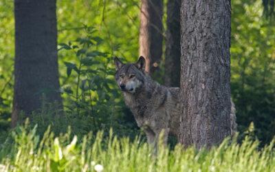 Seminar: Wölfe und Bäume – Termine 2021