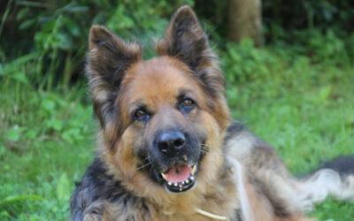 Studie zur Rolle von Nahrungsergänzungsmitteln bei alten Hunden