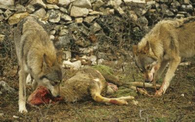 Wissen Wolf: Mehrfachtötung von Schafen ist kein Blutrausch
