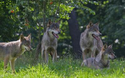 Wissen Wolf: Verhalten bei einer Wolfsbegegnung
